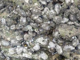 Huîtres à Mouffet