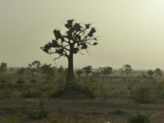 Arbre zaanga avec nids de tisserins