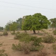 Arbre manguier