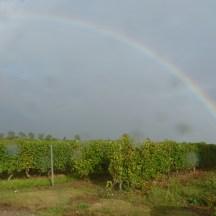 Vignes - 18 septembre 2013