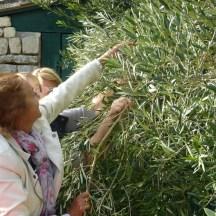 Cueillette d'olives au Moulin de l'Abbaye à Loix