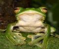 Découverte d'une nouvelle espèce de grenouille volante