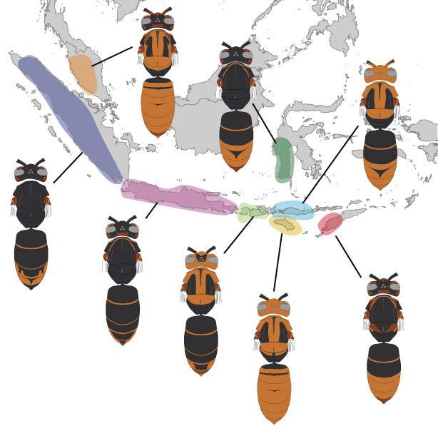 couleurs frelons asiatiques