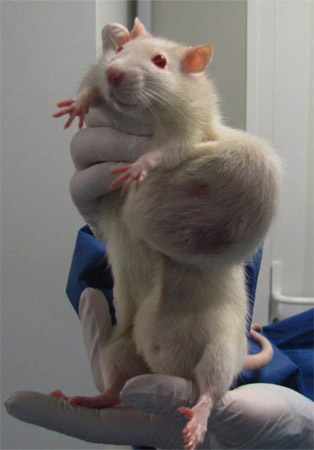 rat_OGM_NK603