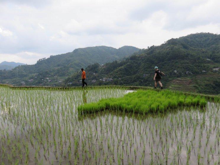 Choupi dans les rizières