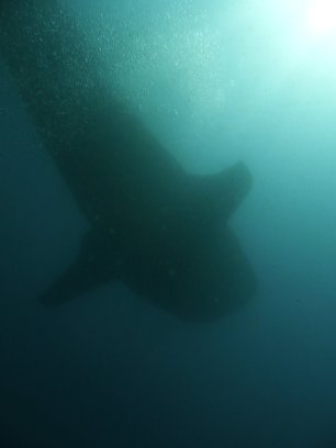 Requin baleine vu du dessous