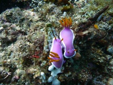 Couple de nudibranches