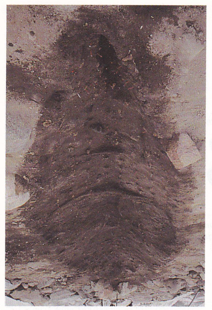 Den ferdig utgravde vikingtidsgrav. Da det nye biblioteket i Tønsberg skulle bygges, ble områ-det først undersøkt av arkeologer. Blant gravene som ble funnet var denne båtgraven. I en ubrent båt var den avdøde blitt plassert sammen med sin jakthund, ei snekker- og smedkiste og en mengde andre gjenstander. Selv om treverket er råtnet bort, ser vi fortsatt naglene og avtrykket etter båten. På dette tidspunkt har arkeologene fjernet skjelettet og gjenstandene i båten. (Foto: Riksantikvaren.)