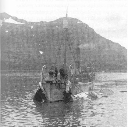 Hvalbåtene var små omkring 1910. Dette er den omtalte Karl med hval langs siden på vei inn til Bucentaur. (Foto utlånt av Karl Jan Skontorp.)