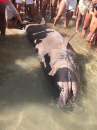 Un tiburón hexanchsu griseus muerto en la Cala de Sant Vicent. Foto SOL CUESTA