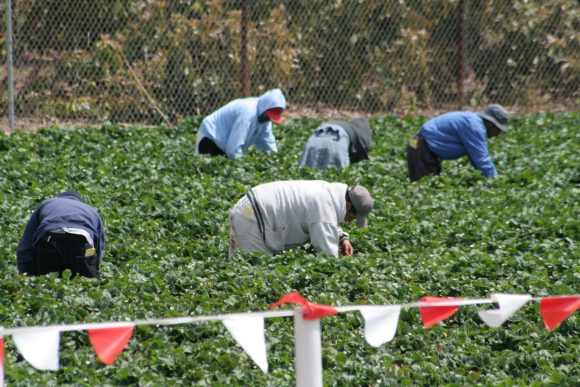 Migrant farm workers picking strawberries in a field