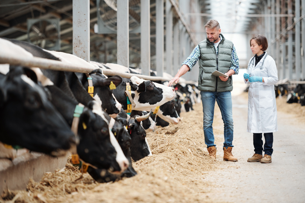 Dairy farmer and technician inspecting herd in a barn