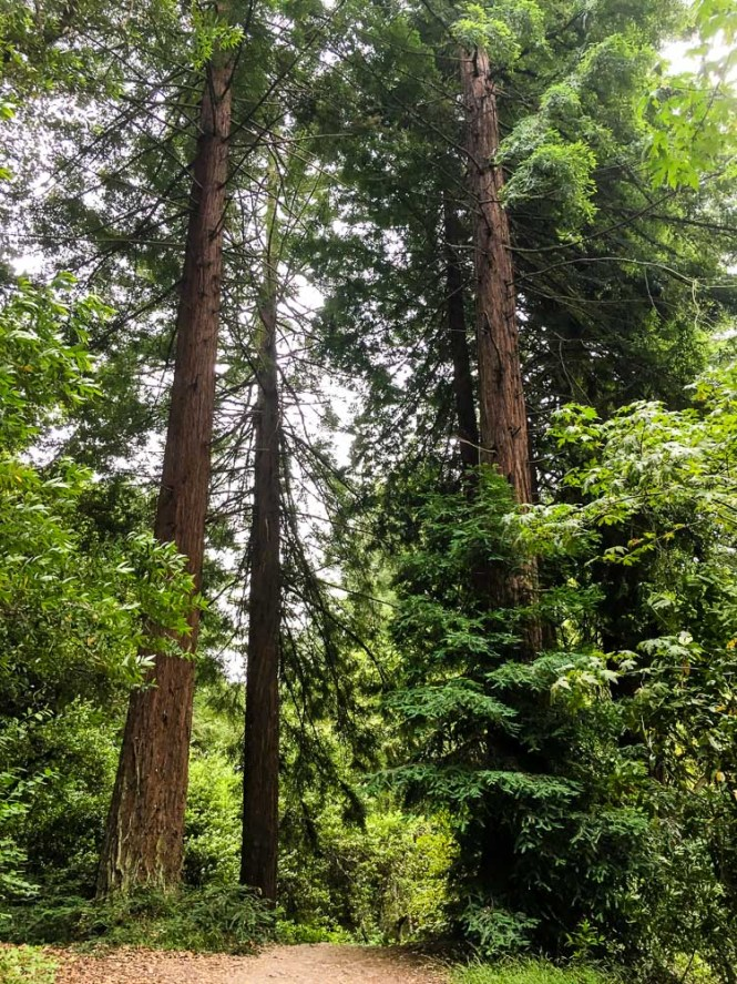 Forest Bathing in the Redwoods