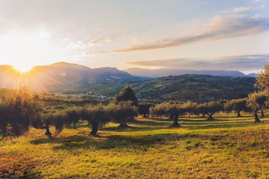 plantation d'olivier