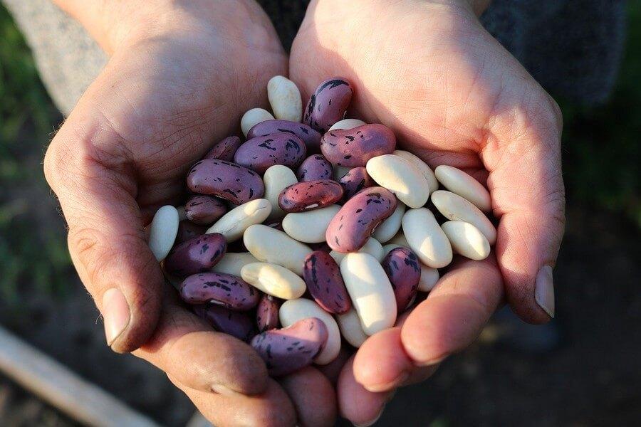 légumineuses dans le creu de la main