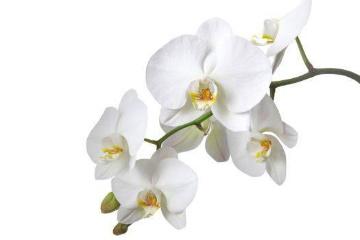 NXPL-Concept-S-Orchidee-Blanche-03