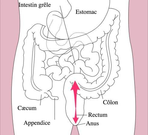 coupe interne des intestins - NXPL
