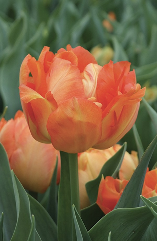 TULIPE DOUBLE HATIVE MONTE ORANGE