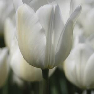 TULIPE SIMPLE HATIVE WHITE MARVEL