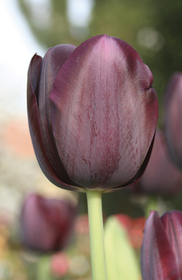 TULIPE SIMPLE TARDIVE QUEEN OF NIGHT