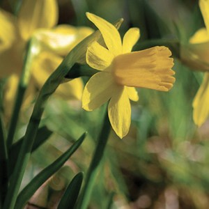 NARCISSE CYCLAMEN FEBRUARY GOLD