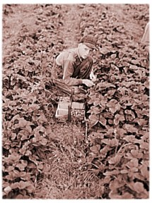 Sarcoxie Missouri - Child Strawberry Pickers Boy - Child Labor