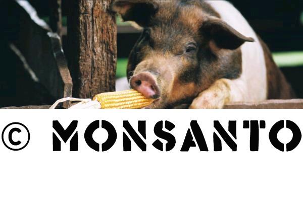 svinja GMO