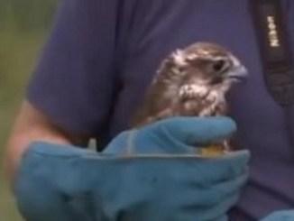 STEPSKI SOKO NA NEBU IZNAD PARAĆINA: Veličanstvena ptica koja lovi brzinom od 322 km na sat! (VIDEO)