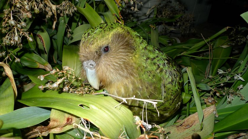 The kakapo can be easily tracked based on its distinctive smell.