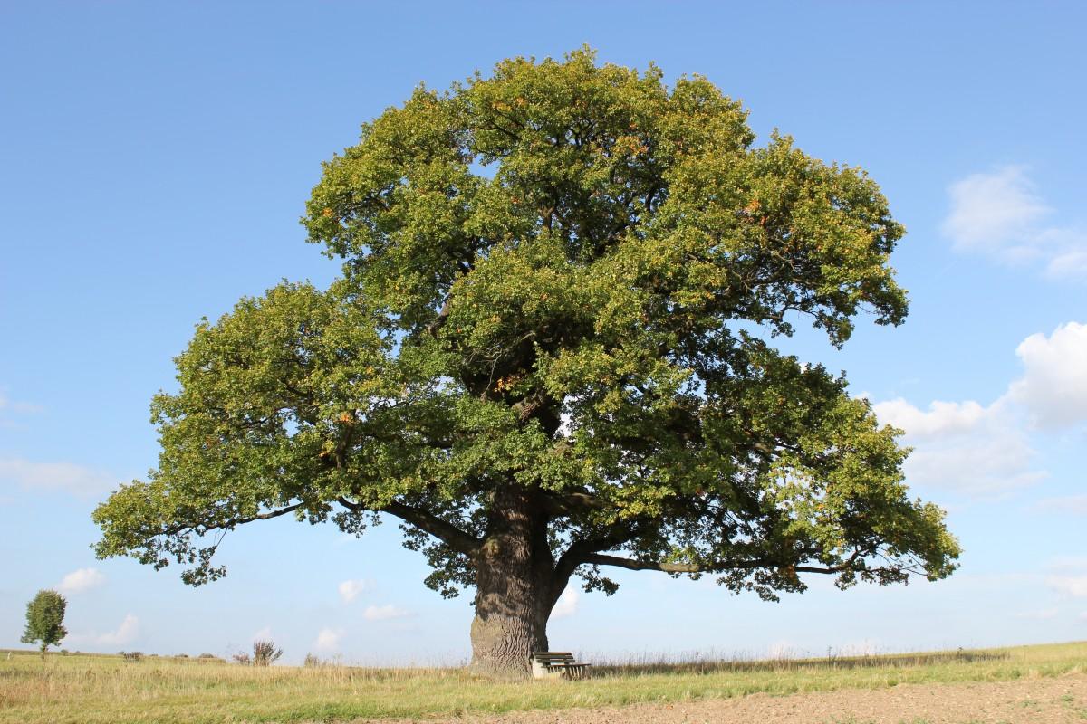 Le chêne au 70 familles