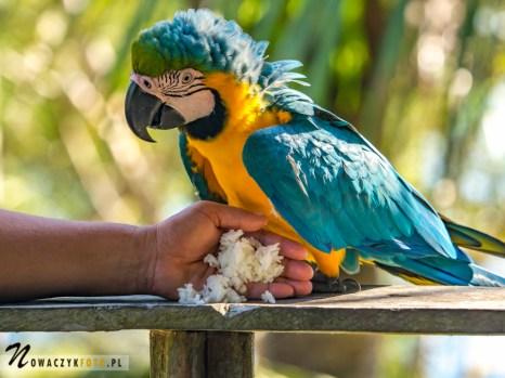 Papuga ara karmiona w dżungli amazońskiej
