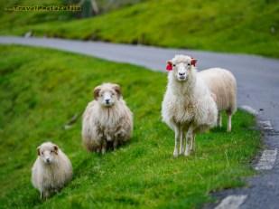Mieszkanki Wysp Owczych przy drodze
