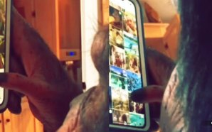 monkey-uses-instagram-swipes-through-photos-like-human
