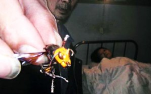 giant-chinese-killer-hornets-china-hu-feng-bible-book-revelation-9-locusts-victims