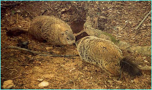 groundhogs_crop