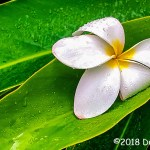2nd Place Plant Life - Fallen Plumeria by Dwight Milne