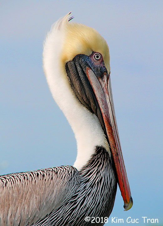 3rd Place Wildlife - Pelican Pose by Kim Cuc Tran