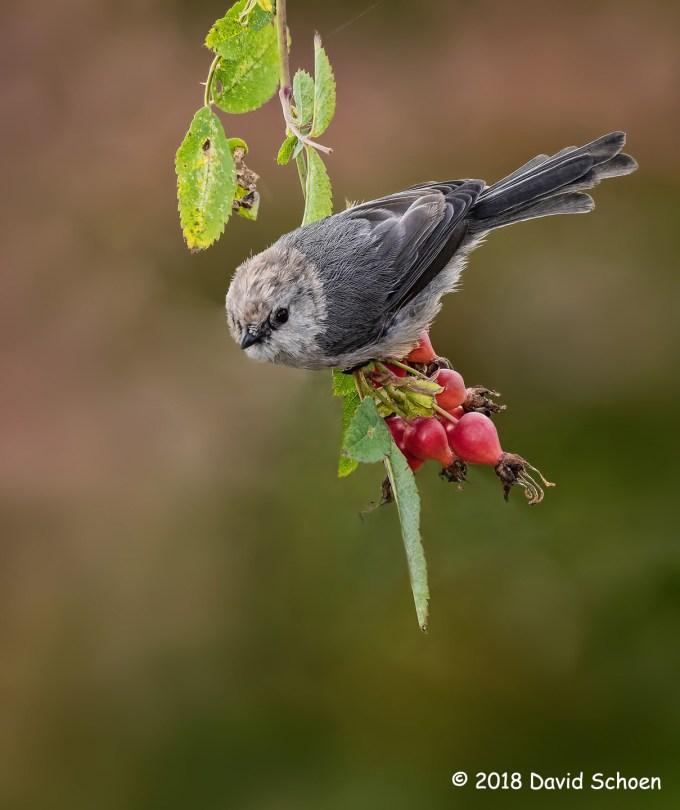 1st Place Wildlife - Bush Tit on Wild Rose by David Schoen