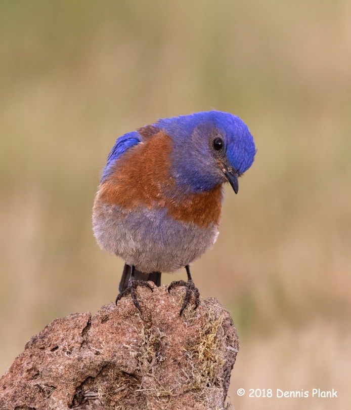 1st Place Wildlife - Curious Bluebird by Dennis Plank