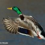 3rd Place Wildlife - Mallard Take Off by John Woods