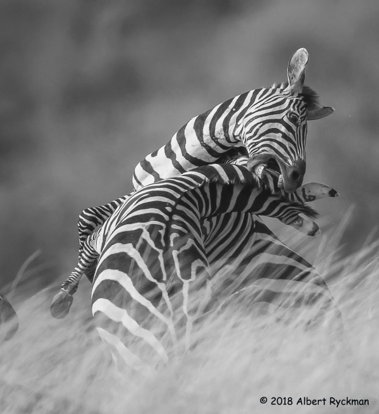 People's Choice Wildlife - Fighting Zebras by Albert Ryckman
