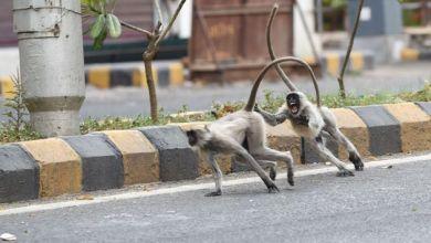 Photo of Πίθηκοι έκλεψαν δείγματα ασθενών με κορωνοϊό