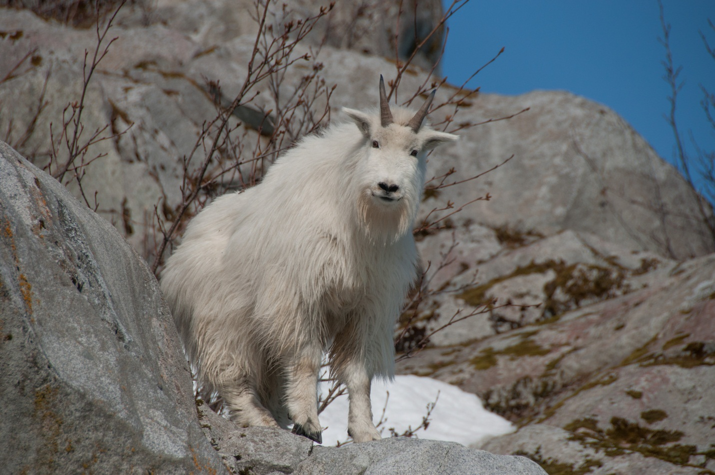 https://i2.wp.com/www.nps.gov/akr/glba/images/Mountain-Goat.jpg