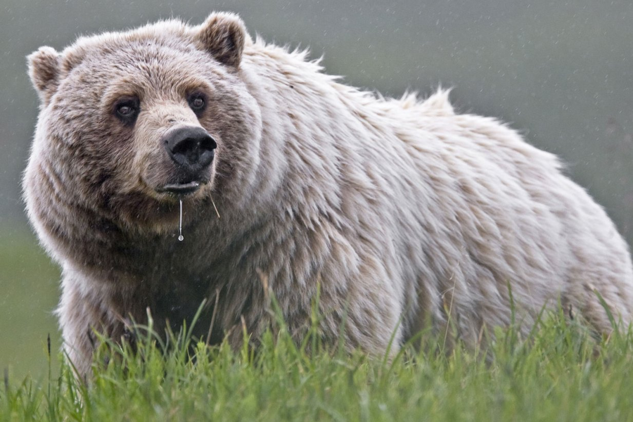A grizzly bear in Denali