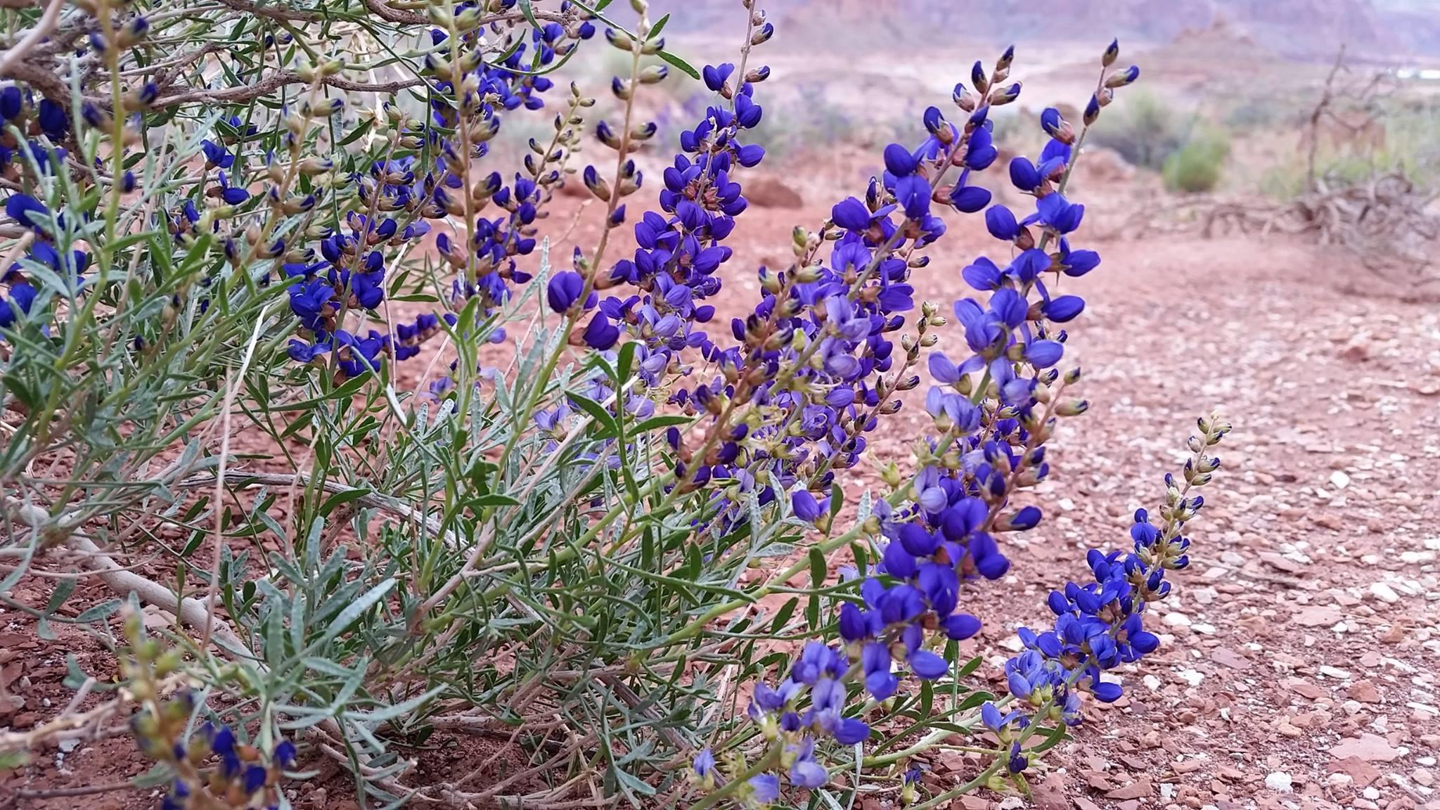 Vascular Plants Glen Canyon National Recreation Area U S