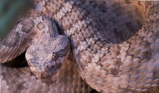 Rattlesnakes - Grand Canyon National Park (U.S. National Park Service)