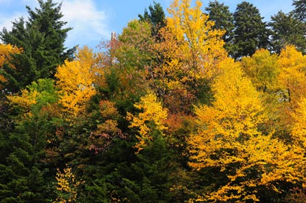 High elevations trees with golden leaves interspersed with dark green spruce trees.