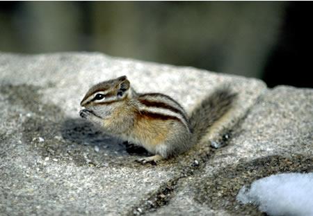 a photo of a least chipmunk