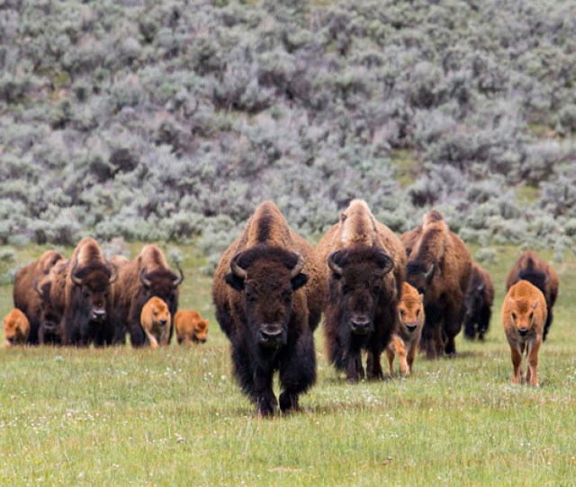 A Nursery Group Of Bison Cows And Calves Makes Its Way Through Lamar Valley Due