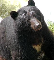 Black bear walks in the forest